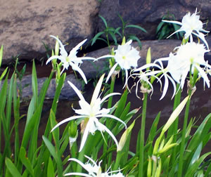 This rare Flat Shoals Spider Lily can be viewed just north of Columbus, GA
