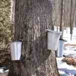 Maple Syrup Tours at Shepherd's Corner