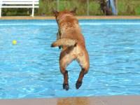 dog swims