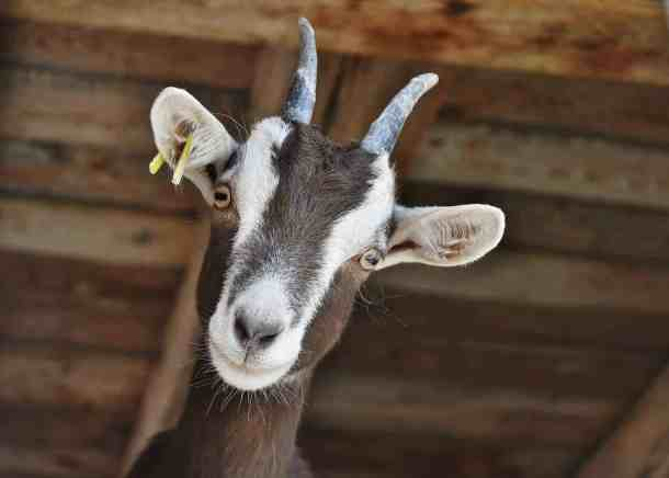 fair farm goat animal