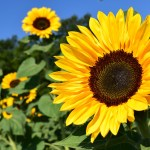 Beautiful Blooms at Coshocton Sunflower Festival