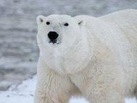 https://pixabay.com/photos/polar-bear-arctic-wildlife-snow-404314/