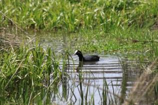 La faune de l'étang de la Combe Tabeillon