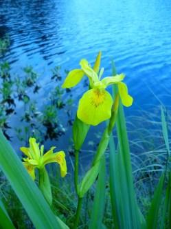 Flore aux abords de l'étang
