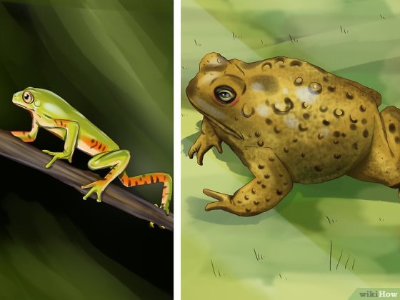Immagine titolata Tell the Difference Between a Frog and a Toad Step 3