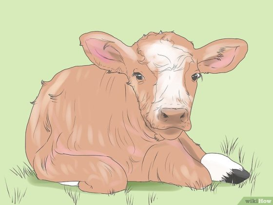Immagine titolata Castrate Bulls and Bull Calves Step 3
