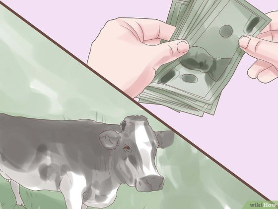 Immagine titolata Choose a Good Dairy Cow Breed Step 4