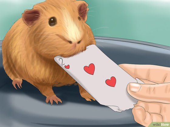 Immagine titolata Choose a Pet Guinea Pig Step 11