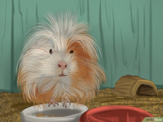 Immagine titolata Choose a Pet Guinea Pig Step 4