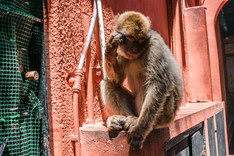Barbary Macaques Seville to Gibraltar Day Trip