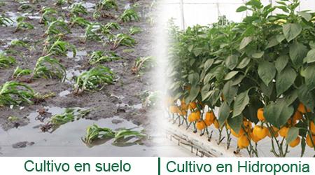 cultivo_en_hidroponia_y_suelo