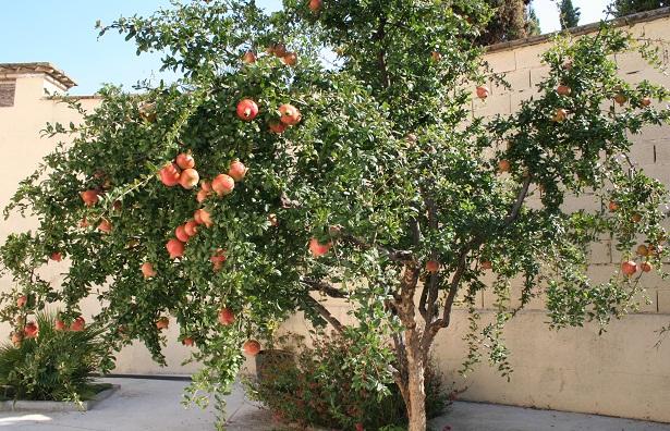 El-árbol-del-granado
