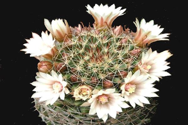 Mammillaria mathildae