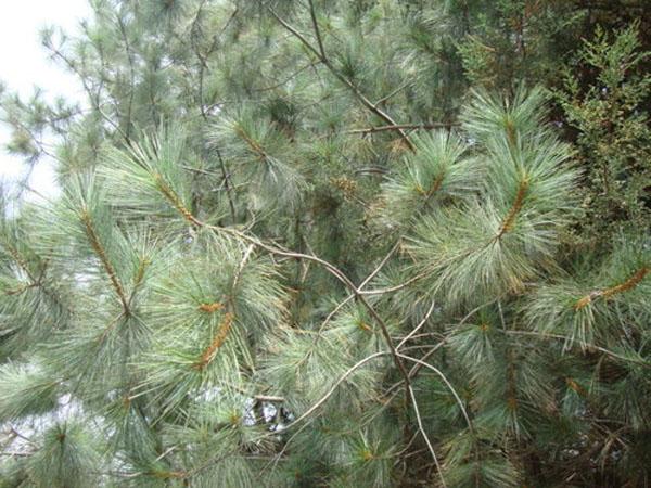 Pinus maximartinezii