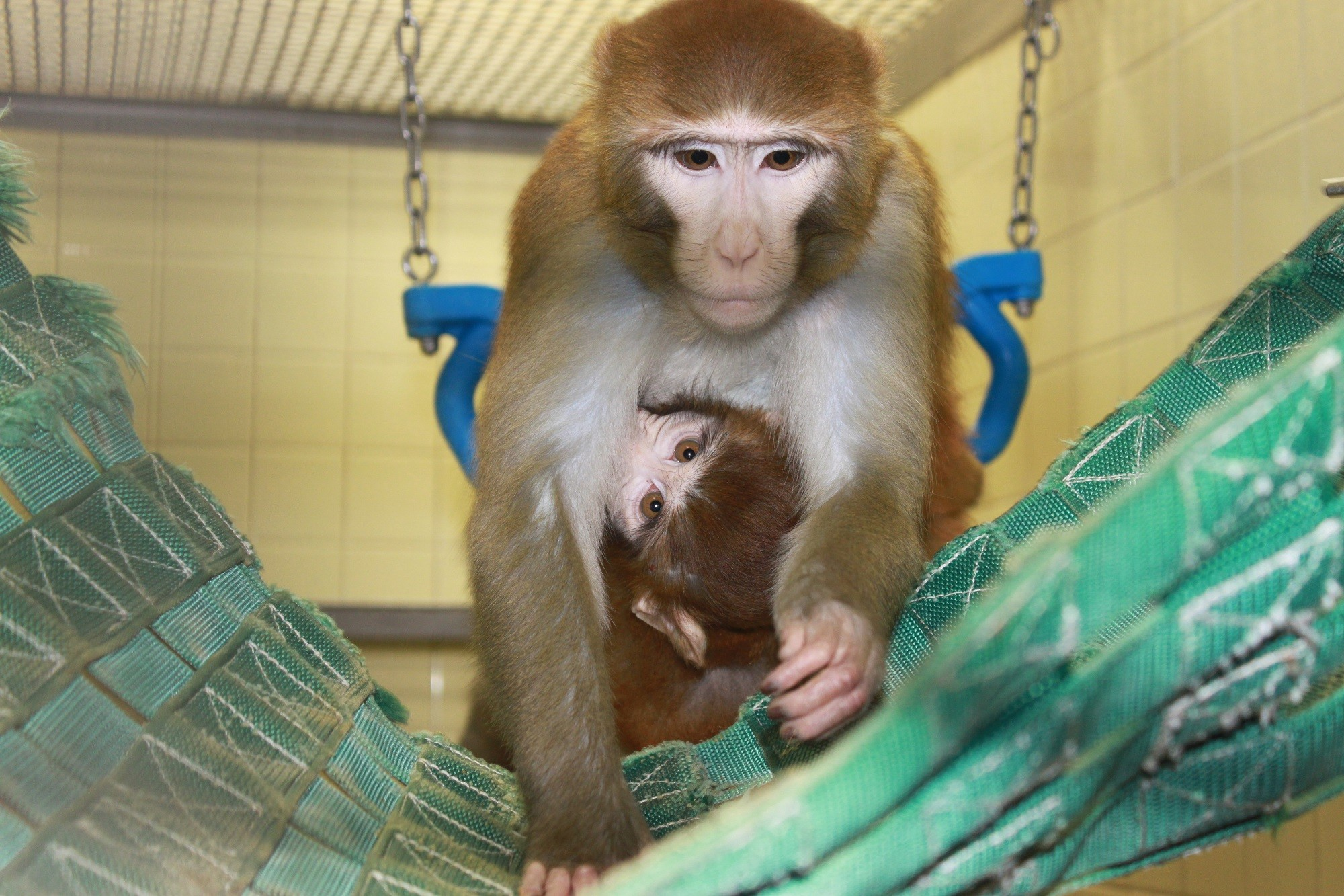 Mom and baby rhesus on hammock  Come See Our World
