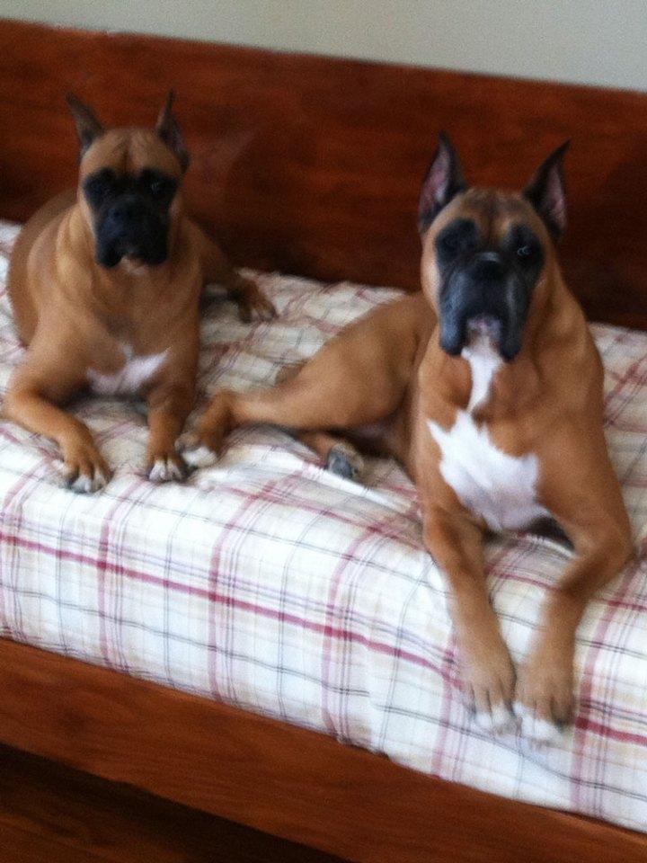 boxer siblings