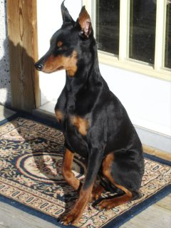 german pinscher memorial