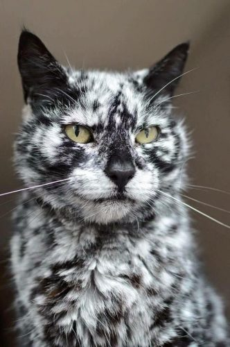 Majestic marbled cat