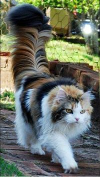 Maine Coon cat with an extraordinary tail