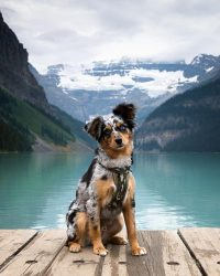 Levi the mini Aussie puppy at Lake Louise in Banff