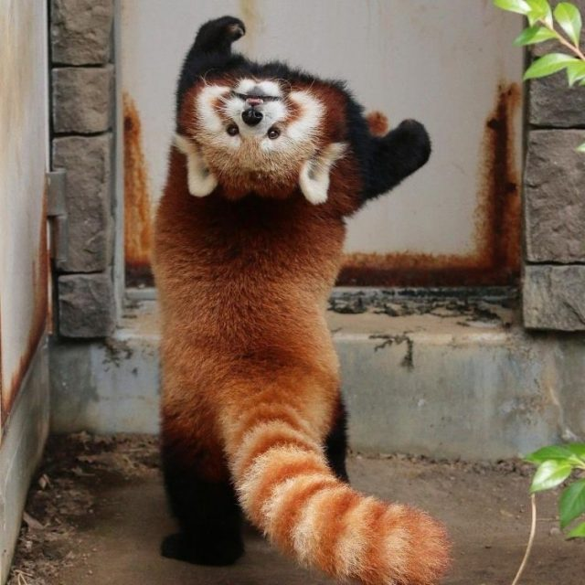 Red Panda back roll