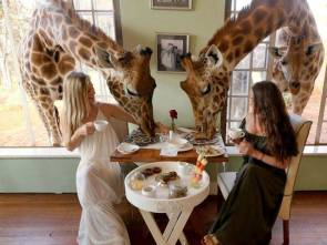 giraffe breakfast