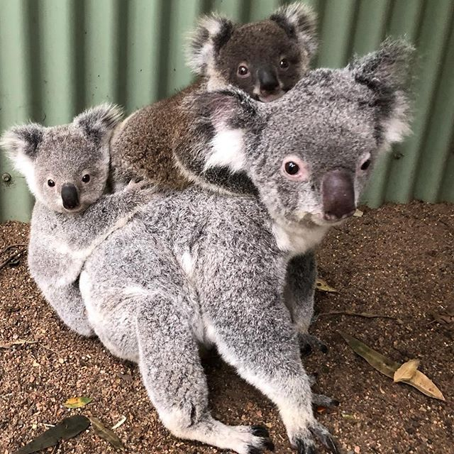Koala Family on the move