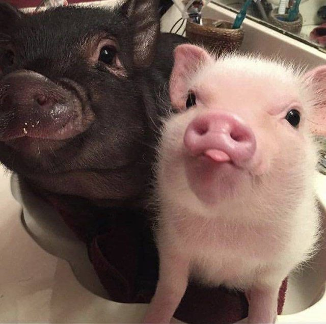 two cute piggies
