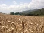 campo-di-grano-2013