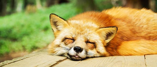 L'hypnose permet de dormir mieux et de s'endormir plus vite : Illustration d'un renard en train de dormir sur une planche en bois