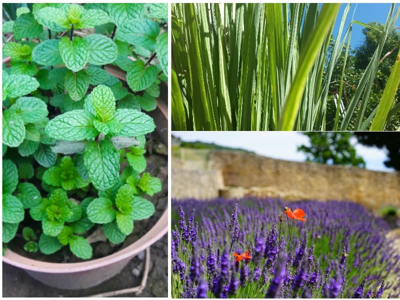 mosquito repelling plants