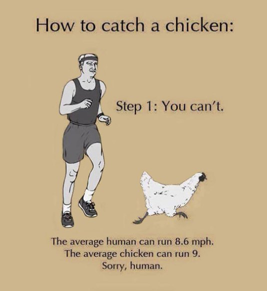 How To Catch A Chicken