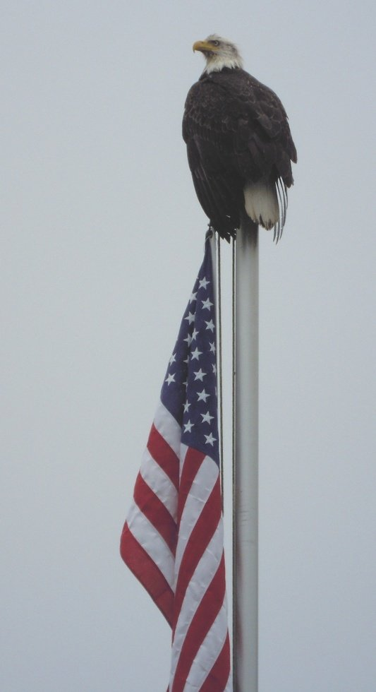 Patriotic Bald Eagle
