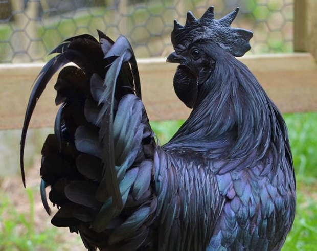 The The Ayam Cemani - Rare 'Gothic' Chicken Is 100% Black – Including His Bones, Blood, And Beak