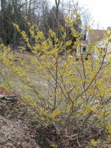 My neighbor's witch hazel