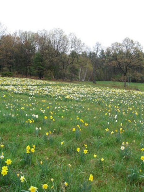 The Daffodil Field at Tower Hill