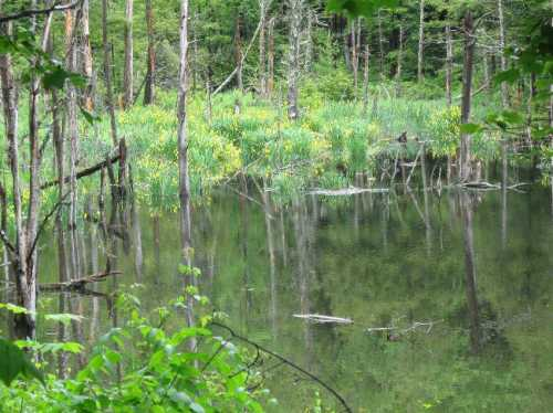 Yellow flags in abandoned beaver pond