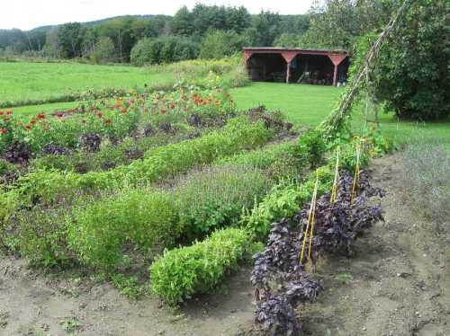 Stockbridge Farm basils