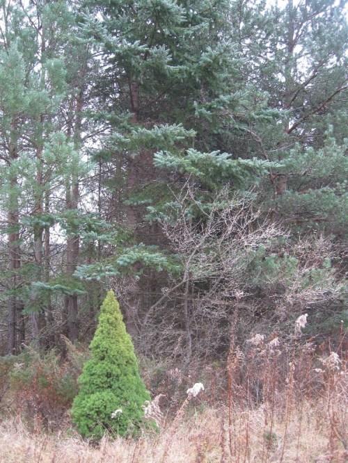 Alberta spruce in snowbreak
