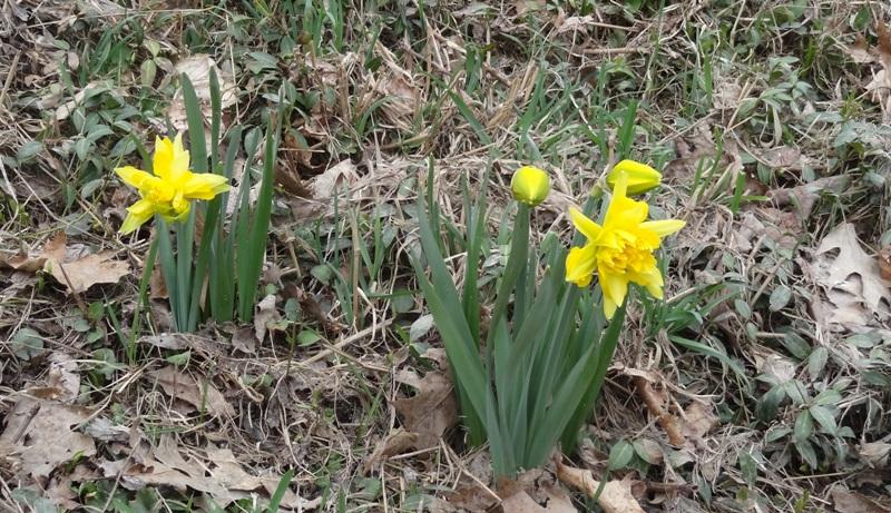 Van Sion daffodils