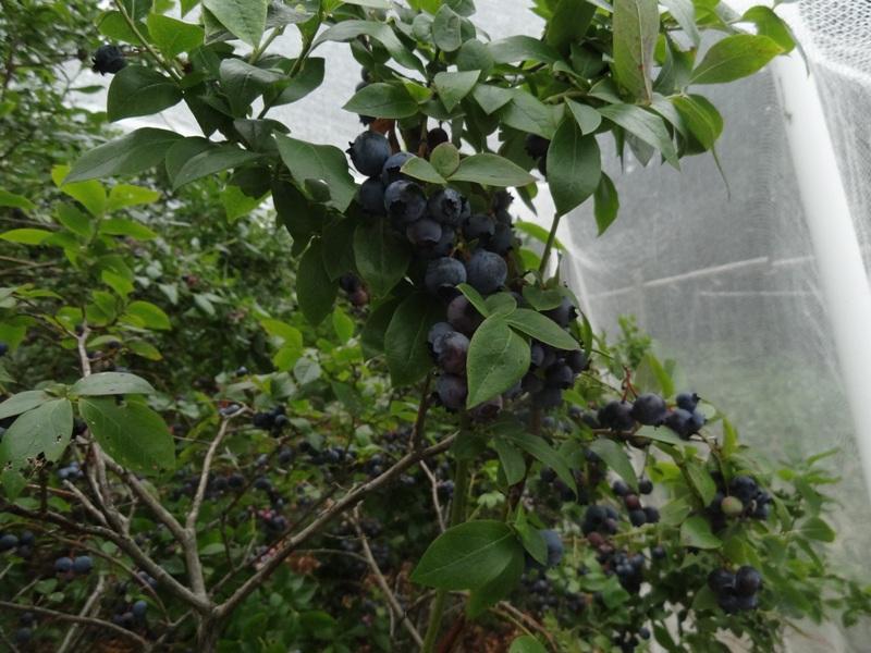 Sarah Hollister's blueberries