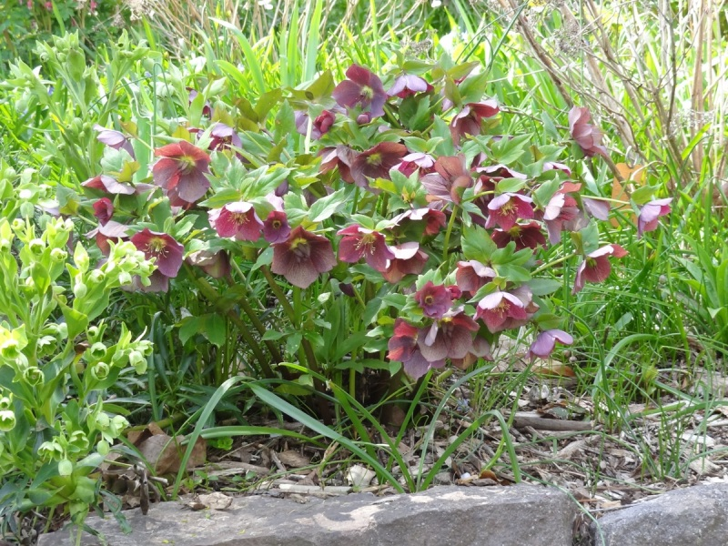Hellebores at the Leonard J. Buck garden