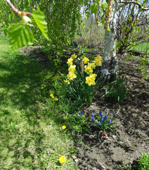 Daffodils, dandelions and grape hyacinths