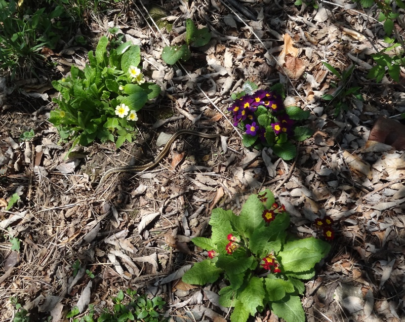 Primroses and snake