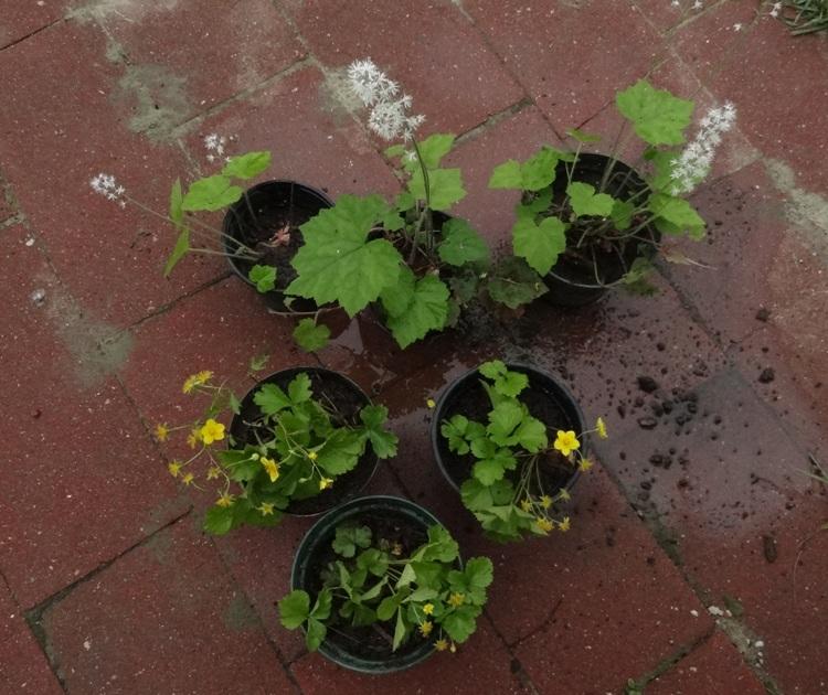 Tiarella and Waldsteinia for the New England Wildflower Society Plant Swap