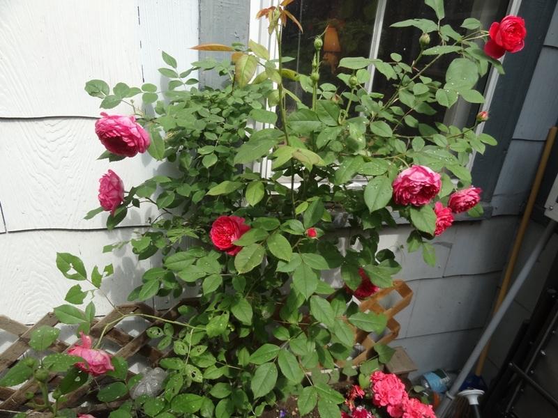 'Benjamin Britten' rose