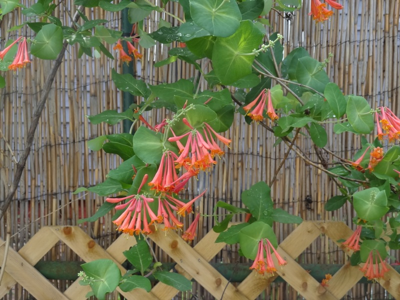 'Alabama Crimson' Honeysuckle