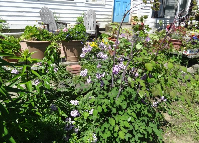 Garden Bloggers Bloom Day - stocks