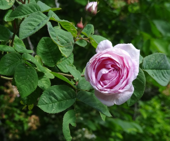 Woodslawn rose