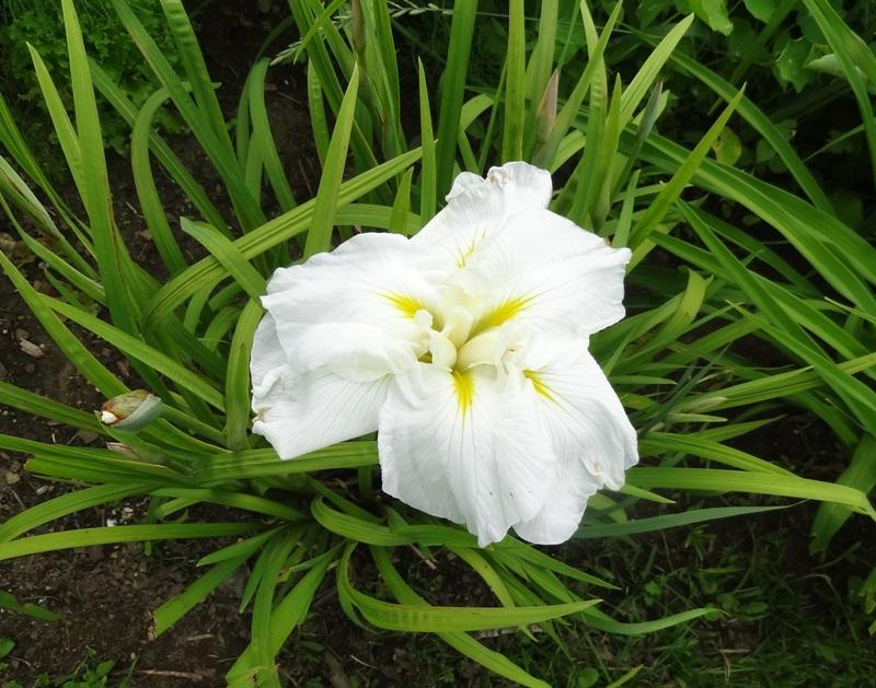 Japanese iris fully open